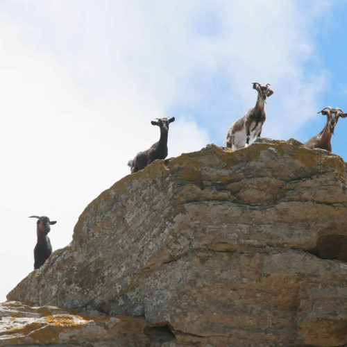 goats in Tinos island, Cyclades